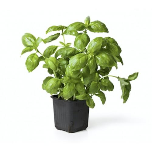 Pot Basilic Grande Feuille France